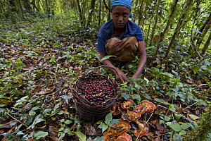 Girl collects low-quality Wild coffee (Coffea arabica) beans fallen from trees after storm in the forest of Mankira,  Kaffa, Southern Ethiopia, East Africa December 2008 - Bruno D'Amicis
