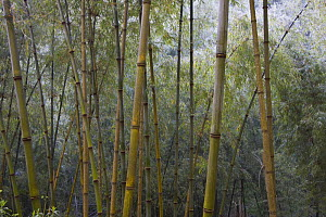 Solid-stemmed / African bamboo forest (Oxytenanthera abyssinica) Kaffa zone, Southern Ethiopia, East Africa December 2008 - Bruno D'Amicis
