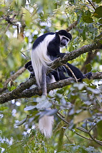 Black and white colobus / Guereza monkeys (Colobus guereza) adult and young among foliage, Kaffa Zone, Southern Ethiopia, East Africa December 2008 - Bruno D'Amicis