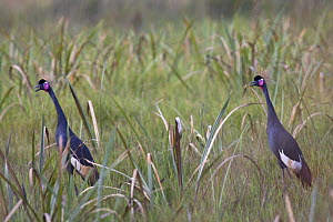 Sudan black crowned crane (Balearica pavonina ceciliae) pair calling, vulnerable, Kaffa Zone, Southern Ethiopia, East Africa December 2008 - Bruno D'Amicis