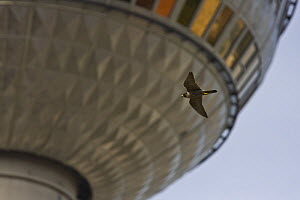 Peregrine falcon (Falco peregrinus) adult female flying against the TV tower of Alexanderplatz in the center of Berlin, Germany  -  Bruno D'Amicis