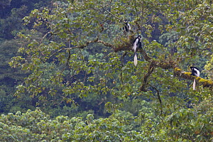 Black and white colobus / Guereza monkeys (Colobus guereza) sitting on Fig (Ficus sp.) tree in forest canopy, Kaffa Zone, Southern Ethiopia, East Africa December 2008 - Bruno D'Amicis