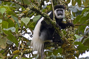 Black and white colobus / Guereza monkey (Colobus guereza) adult male among Fig (Ficus sp.) foliage, Kaffa Zone, Southern Ethiopia, East Africa December 2008 - Bruno D'Amicis