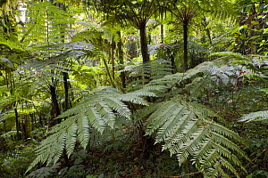 Giant ferns in Afromontane cloud forest, Koma forest, Bonga, Kaffa Zone, Southern Ethiopia, East Africa December 2008 - Bruno D'Amicis