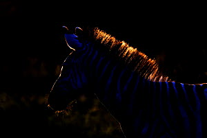 Common zebra (Equus quagga) silhouetted with light from behind, Tanzania  -  Edwin Giesbers