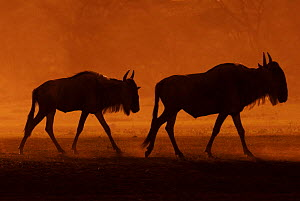 Two Wildebeest (Connochaetes taurinus) silhouetted, Tanzania - Edwin Giesbers