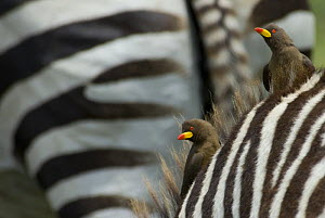 Two Yellow-billed oxpeckers (Buphagus africanus) on a zebra, Tanzania - Edwin Giesbers