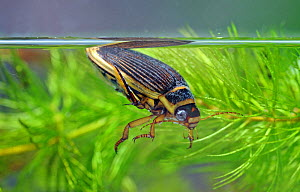 The Wasp diving beetle (Dytiscus circmflexus) taking air, captive, England  -  Will Watson