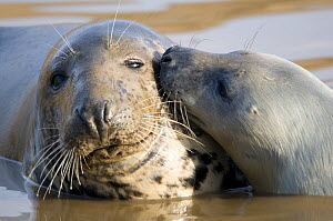 Grey Seal (Halichoerus grypus) pup nuzzling cow, Lincolnshire coast, UK. November - Will Watson