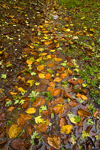 Fallen leaves along a wet path in woodland in autumn, Riano, Picos de Europa NP, Leon, Northern Spain  October 2006 - Juan Carlos Munoz