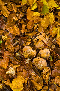 Fungus growing up through the leaf litter in woodland in autumn, Riano, Picos de Europa NP, Leon, Northern Spain  October 2006 - Juan Carlos Munoz
