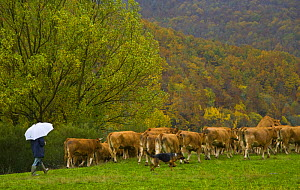 Cattle being herded by man and dog, Riano, Picos de Europa NP, Leon, Northern Spain  October 2006 - Juan Carlos Munoz