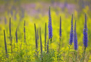Spike Speedwell {Veronica spicata} Gotska Sand�n National Park, Sweden, July - Staffan Widstrand