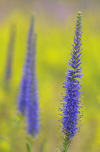 Spiked Speedwell {Veronica spicata} flower, Gotska Sand�n National Park, Sweden, July - Staffan Widstrand