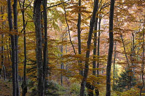 Beech (Fagus sp) forest in autumn, Piatra Craiului National Park, Transylvania, Southern Carpathian Mountains, Romania, October 2008  -  Wild Wonders of Europe / Döerr