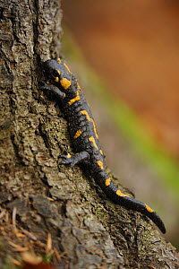 European / Fire salamander (Salamandra salamandra) on tree, Piatra Craiului National Park, Transylvania, Southern Carpathian Mountains, Romania, October 2008 - Wild Wonders of Europe / Döerr