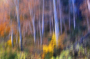 Beech (Fagus sp) forest in autumn, soft focus, Piatra Craiului National Park, Transylvania, Southern Carpathian Mountains, Romania, October 2008  -  Wild Wonders of Europe / Döerr