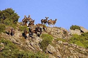 Mouflon (Ovis musimon) herd, Gennargentu National Park, Sardinia, Italy, November 2008 - Wild Wonders of Europe / Arndt