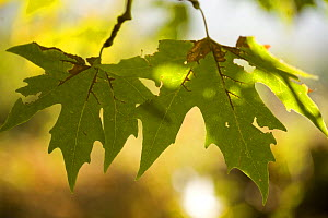 Oriental plane tree (Platanus orientalis) leaves, Meteora, Greece, October 2008 - Wild Wonders of Europe / Radisics