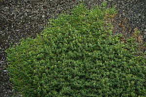 Ivy (Hedera SP) growing on cliff, Meteora, Greece, October 2008 - Wild Wonders of Europe / Radisics