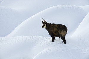 Chamois (Rupicapra rupicapra) in snow, Gran Paradiso National Park, Italy, November 2008  -  Wild Wonders of Europe / E Haarberg