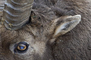 Alpine ibex (Capra ibex ibex) close-up of face, Gran Paradiso National Park, Italy, November 2008   WWE BOOK.  -  Wild Wonders of Europe / E Haarb