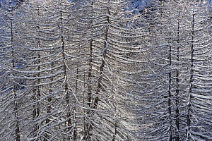 European Larch (Larix decidua) trees covered in snow, Gran Paradiso National Park, Italy, November 2008 - Wild Wonders of Europe / E Haarberg