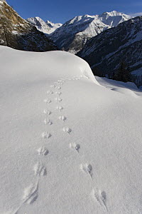 Tracks of mouse in snow in alpine landscape, Gran Paradiso National Park, Italy, November 2008  -  Wild Wonders of Europe / E Haarberg
