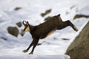 Chamois (Rupicapra rupicapra) leaping in snow, Gran Paradiso National Park, Italy, November 2008 - Wild Wonders of Europe / E Haarberg