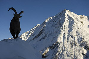Alpine ibex (Capra ibex ibex) silhouetted in alpine landscape in snow, Gran Paradiso National Park, Italy, November 2008  -  Wild Wonders of Europe / E Haarb