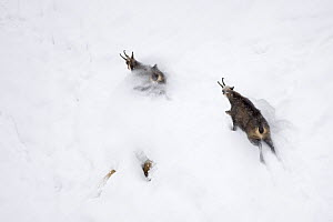 Chamois (Rupicapra rupicapra) male chasing female through deep snow during rutting season, Gran Paradiso National Park, Italy, November 2008 - Wild Wonders of Europe / E Haarberg