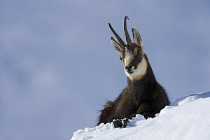 Chamois (Rupicapra rupicapra) resting on snow, Gran Paradiso National Park, Italy, November 2008  -  Wild Wonders of Europe / E Haarberg