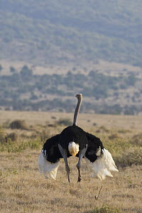 Ostrich {Struthio camelus} male showing breeding display, Lewa Conservancy, Kenya - Suzi Eszterhas