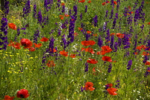 Common Poppy (Papaver rhoeas) and Forking Larkspur (Consolida regalis) in flowering meadow, Bulgaria, May 2008  -  Wild Wonders of Europe / Nill