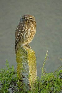 Little owl (Athene noctua) perched on post, Bulgaria, May 2008 - Wild Wonders of Europe / Nill