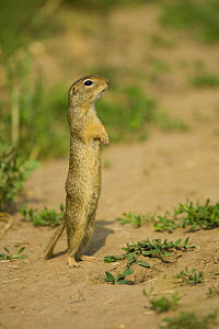 European souslik / ground squirrel (Spermophilus citellus) standing up, Bulgaria, May 2008 - Wild Wonders of Europe / Nill