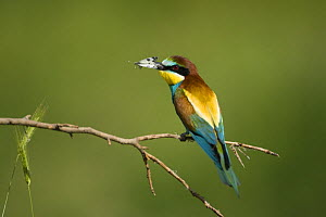 European bee-eater (Merops apiaster) with butterfly prey in his beak, Bulgaria, May 2008  -  Wild Wonders of Europe / Nill