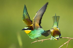 European bee-eater (Merops apiaster) pair in courtship display, Bulgaria, May 2008 - Wild Wonders of Europe / Nill