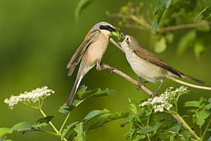 Red-backed shrike (Lanius collurio) pair, male feeding insect to female in courtship, Bulgaria, May 2008  -  Wild Wonders of Europe / Nill