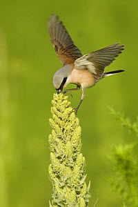 Red-backed shrike (Lanius collurio) male feeding on flower spike, Bulgaria, May 2008  -  Wild Wonders of Europe / Nill