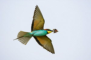 European bee-eater (Merops apiaster) in flight with butterfly prey, Bulgaria, May 2008  -  Wild Wonders of Europe / Nill