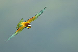 European Bee-eater (Merops apiaster) in flight, Bulgaria, May 2008  -  Wild Wonders of Europe / Nill