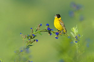 Black-headed bunting (Emberiza melanocephala) male perched singing, Bulgaria, May 2008 - Wild Wonders of Europe / Nill