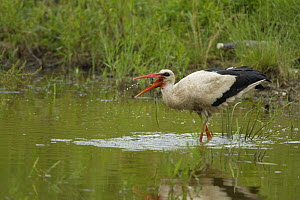 White Stork (Ciconia ciconia) feeding in water,  Bulgaria, May 2008, sequence 3/3 - Wild Wonders of Europe / Nill