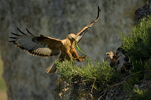 Long-legged buzzard (Buteo rufinus) landing at nest, with lizard prey for chicks, Bulgaria, May 2008 WWE BOOK. Wild Wonders kids book. - Wild Wonders of Europe / Nill