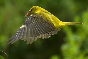 Golden oriole (Oriolus oriolus) female in flight to nest, Bulgaria, May 2008 - Wild Wonders of Europe / Nill