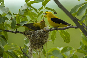 Golden oriole (Oriolus oriolus) pair at nest, Bulgaria, May 2008 - Wild Wonders of Europe / Nill