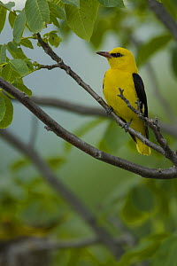 Golden oriole (Oriolus oriolus) male perched, Bulgaria, May 2008  -  Wild Wonders of Europe / Nill