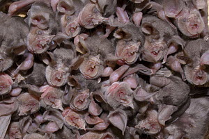 Juvenile Mehely's horseshoe bats (Rhinolophus mehelyi) roosing in cave, Bulgaria, May 2008 - Wild Wonders of Europe / Nill