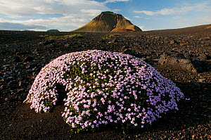 Moss campion (Silene acaulis) ��rsm�rk, Iceland, June 2008  -  Wild Wonders of Europe / O Haarberg